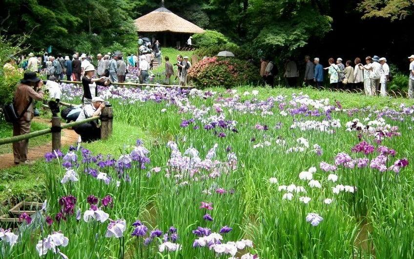 明治神宮・菖蒲園の今年の見頃や開花状況などの情報