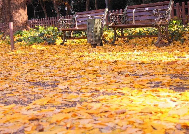 明治神宮・外苑のイチョウ並木の由来・歴史
