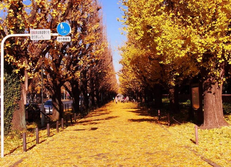 明治神宮(外苑)のイチョウ並木で、一番美しい紅葉が見られる時期 (2)