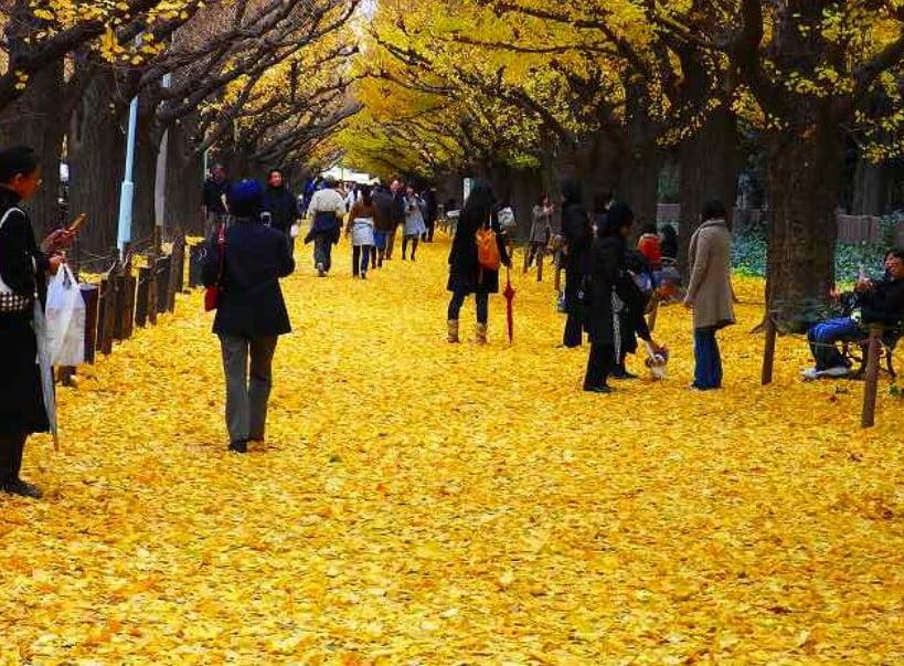 明治神宮(外苑)のイチョウ並木で、一番美しい紅葉が見られる時期 (3)