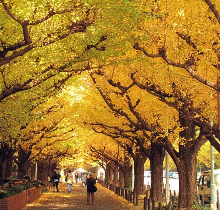 明治神宮(外苑)のイチョウ並木で、一番美しい紅葉が見られる時期